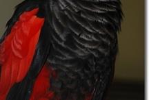"""Psittrichas / Genere monospecifico di pappagallo originario della Nuova Guinea. A questo genere quindi appartiene solamente la specie psittrichas fulgidus, un pappagallo dall'aspetto molto primitivo che ricorda il pappagallo vulturino dell'Amazzonia ed i vasa del Madagascar, per l'aspetto deplumato della maschera facciale, il becco lungo e una fisionomia quasi da """"rapace""""."""
