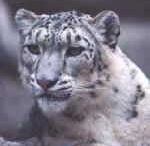 Got to love Snow Leopards / Seeing the snow leopards in Darjeeling changed my life