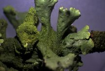 Korstmossen / Dichtbij of microfotografie van korstmossen (lichenen)