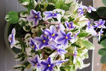 African Violet Miniature Trailers