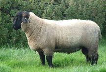 Razas de ovino / Principales razas de ovino en Reino Unido