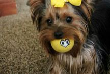 yorkies / by Marlon Lancaster
