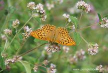 Butterflies / UK Butterflies