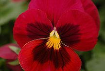 Pansies / by Judy Schlager