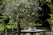 Decorating with Olive Trees / Decorating with Olive Trees