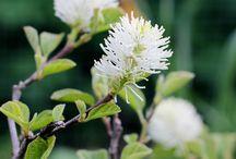 Oravankesäpesä | pensaat