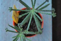 piante  grasse, cactacee e succulente / le  mie piantine, sempre pronte ad uno scatto nuovo