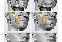 portrait muscles