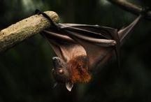 ANIMAL • Bat