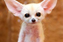 Fennec Foxs