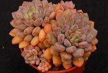 Echeveria / Plant Calalog