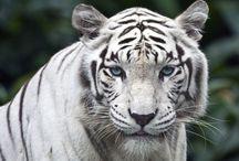 painel de  tigre e rock