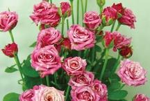 Korea-Rose / 외국 로얄티를 해결하기 위해서 농업진흥청에서 개발한 순수 국장장미 품종.