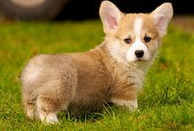 Corgis are awesome
