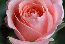 Rose paintings & photographs