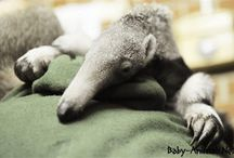 Baby anteater / Baby anteater pictures