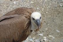 Faune des Pyrénées / Faune des Pyrénées : isards, vautours, bouquetin, gypaete...