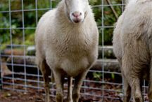 Sheep / by Kate Floyd