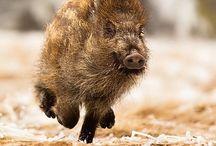 Boar / Wild Boar, in all their glory!