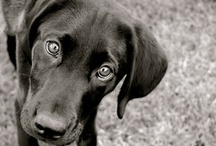 Black Labbies! / by Allison Luyster