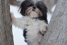 For The Love Of Shih Tzu's / Cute pictures and gift ideas for Shih Tzu's
