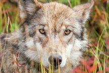 Wolf`s serenade