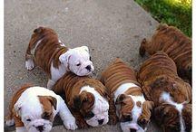 Bulldog Inglesi