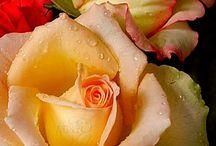 Nature - rose, dahlia, african violet