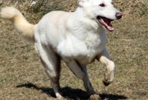 Dogs: GSD's (even the whites!) / Unique in their own right! / by Margie Hillenbrand