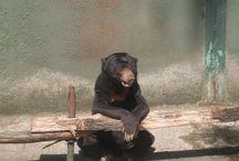 ZOO / unavený medvěd