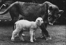 Little Tyke Lioness