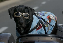 Biker Dog / Emma Zen is the Canine Ambassabor for Biker Dogs ® She was born 7/21/07 began riding at 6 months old on by her 5th birthday in 2012, she had 30,000 miles under her tail!