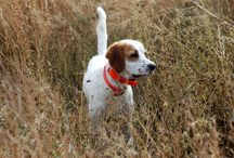 Gun Dogs / These hard-working dogs will find you hard-flying pheasants.