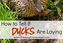 Duck fodder