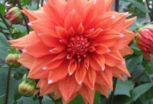 Dahlia - Orange