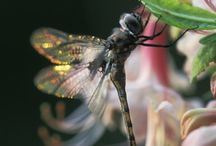 Dragonflies  / by Cathy Chaput