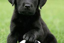 Zwarte labrador hondjes