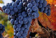 Variedades de Uva en la @DORibera / La Tempranillo conocida como Tita del País o Tinto Fino, es la variedad principal, que le otorga,color, aroma y cuerpo a los #vinos de la @DORibera.