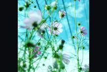 コスモスと秋の空。 cosmos and autumn sky #cosmos #flowers #snapshot #コスモス #花写真