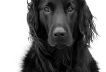 Flatcoated retriever❤️