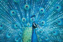 Peacocks & Peacock blue