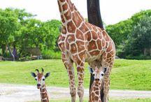 giraffes / by Melissa Williamson