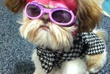 Silly Shih Tzus