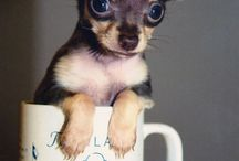 Chihuahua / dog / by Janice Delaluz