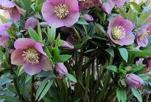 Flowers - Hellebores