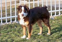 Aussies are Awesome / Photos of various Australian Shepherd dogs