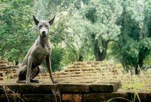 THAILAND-Собаки