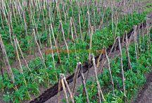 cultivarea tomatelor