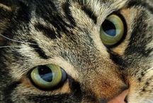 Maine coon katter