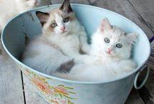 Cat / Cat & kitten